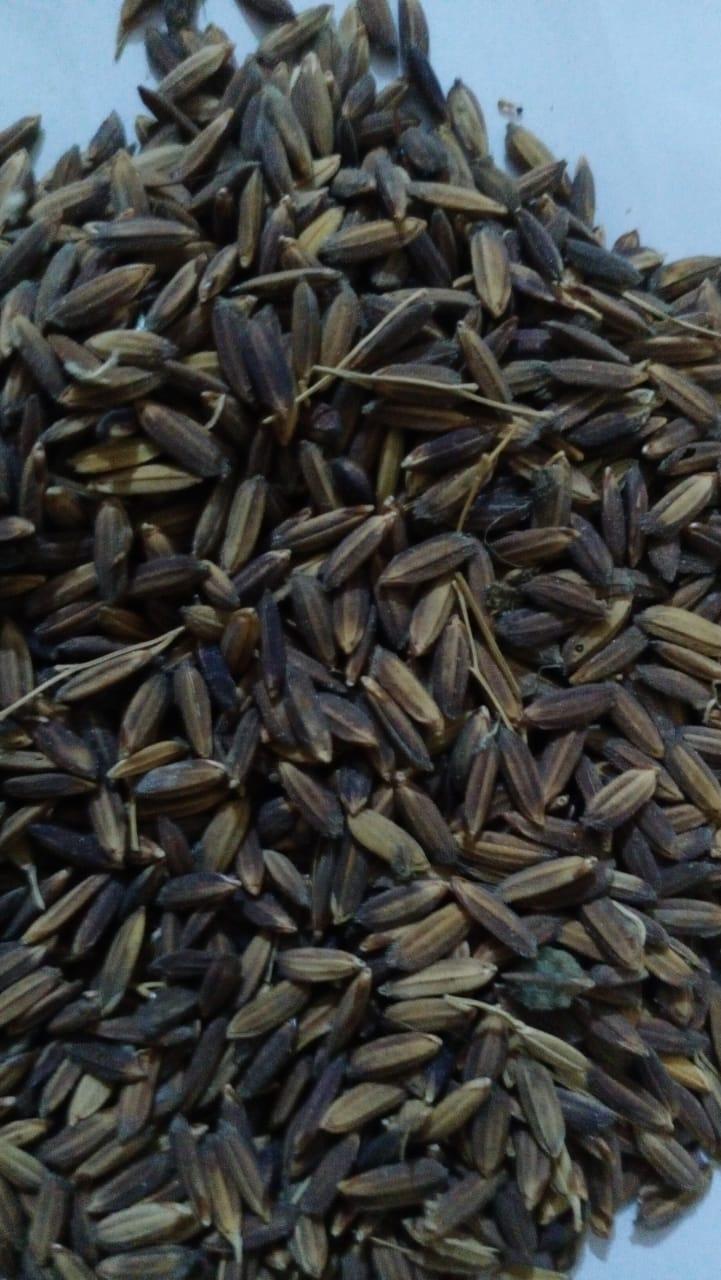 Black Rice Paddy Seed