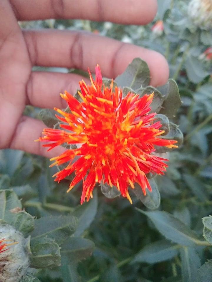 American Kesar (Saffron)